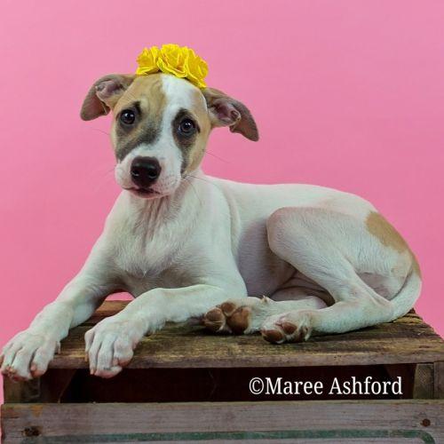 Harper - Staffy Dog