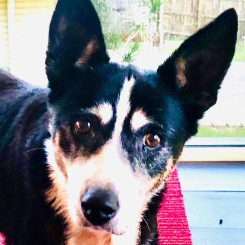 Winnie 🐾🐾 - Border Collie Dog