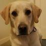 Photo of Apollo ~ Labrador X Golden Retriever (Pend. Adop.)