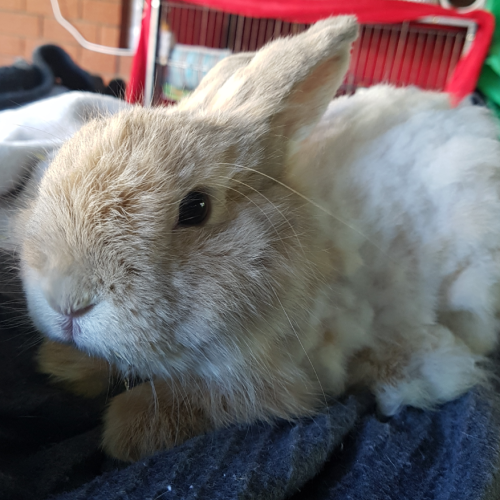 Toffee - Cashmere Rabbit