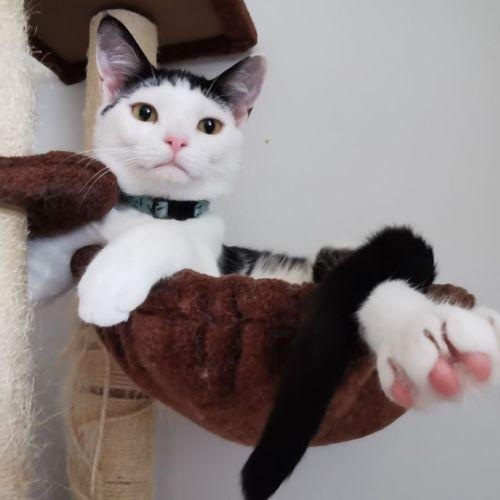 Ringo - Domestic Short Hair Cat