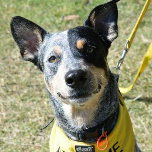 Bluebell - Australian Cattle Dog x Kelpie Dog