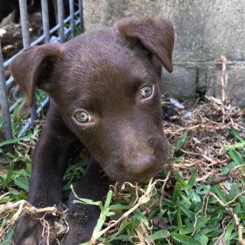 Violet - Kelpie Dog