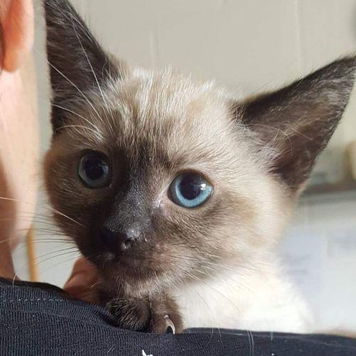 Aries - Domestic Short Hair Cat