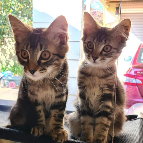 Marvin and Madelyn ❤❤ - Domestic Medium Hair Cat