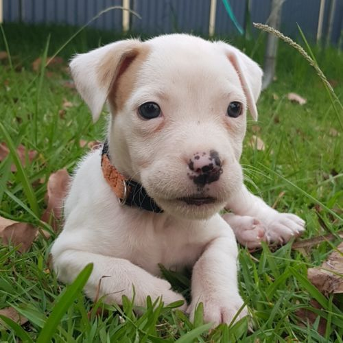 Jyn - Staffordshire Bull Terrier x Australian Bulldog
