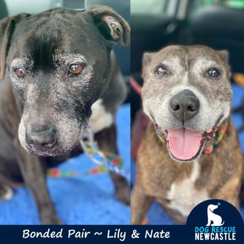 Lily & Nate ~ Bonded Staffy Pair