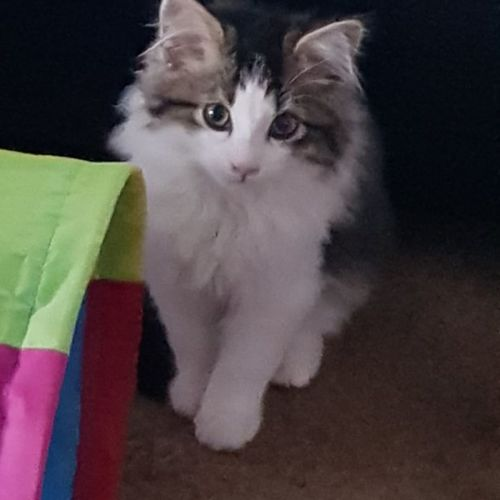 Rose ** 2nd Chance Cat Rescue**