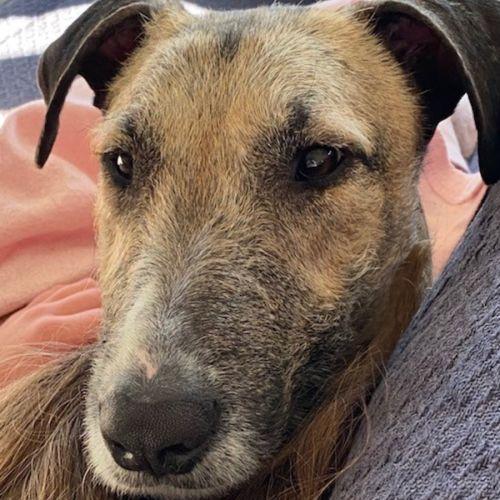 Charlie ~ 1.5yr Old Greyhound X