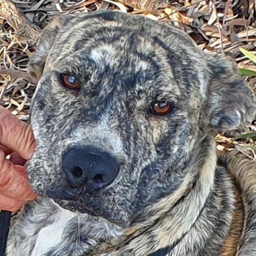 Sonet - Bull Arab Dog