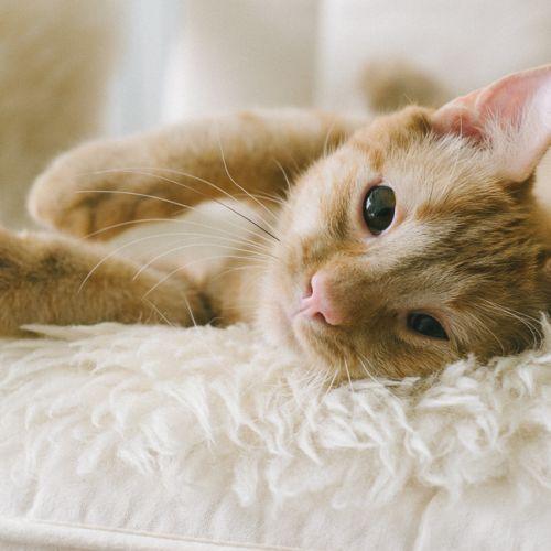Tigger & Shmoo - Domestic Short Hair Cat