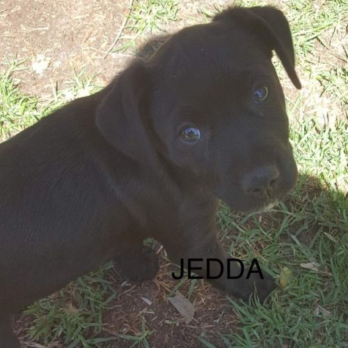 Jedda - Labrador Dog