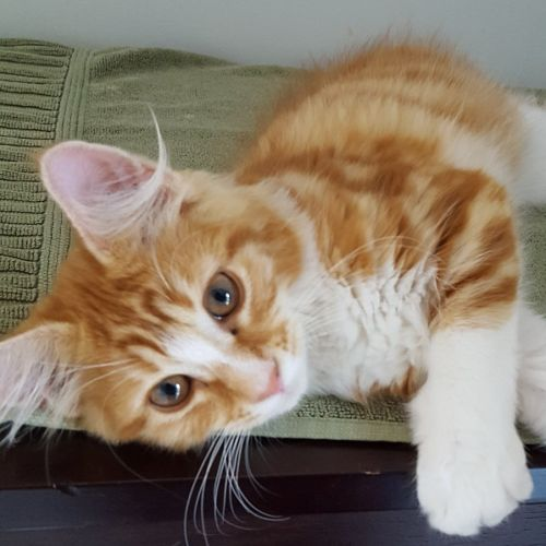 Rocky ^^Dandy Cat Rescue^^ - Domestic Medium Hair Cat