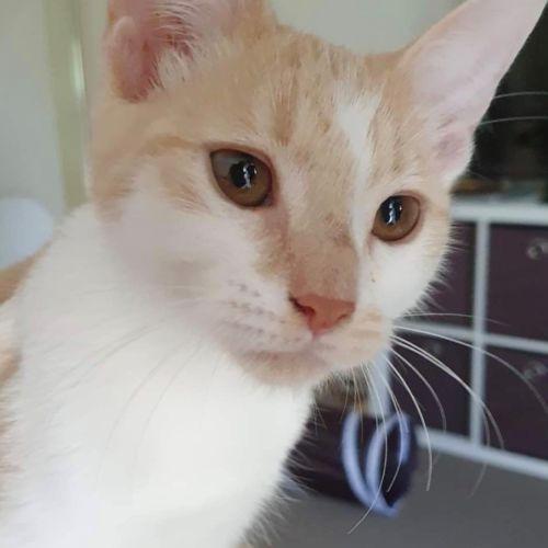 Flap - Domestic Medium Hair Cat