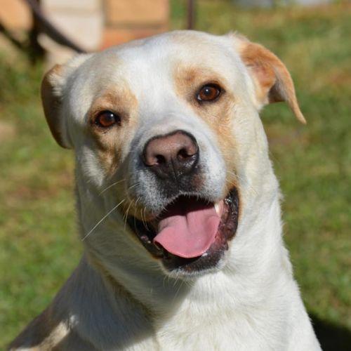 Gatsby - Labrador Dog