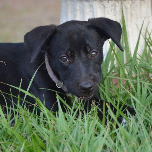Koko - Kelpie Dog