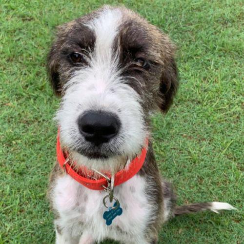 Poppy - Wolfhound Dog