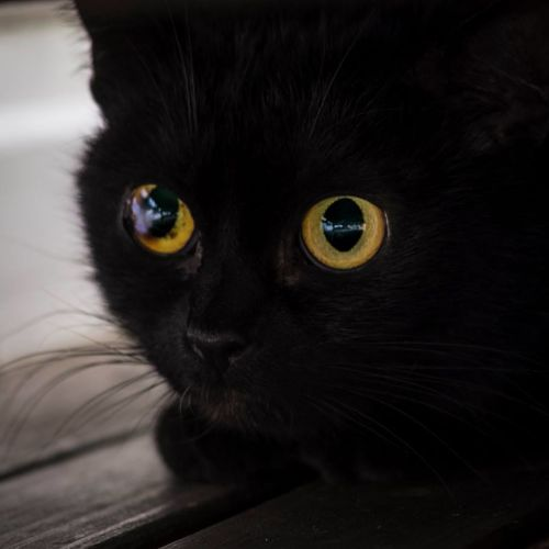 Jinx **2nd Chance Cat Rescue** - Domestic Short Hair Cat