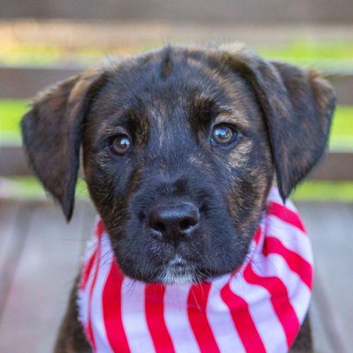 Atlas ~ Border Collie X Wolfhound Puppy - Border Collie x Wolfhound Dog
