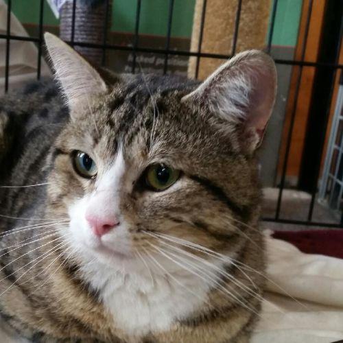 Irving - Domestic Short Hair Cat