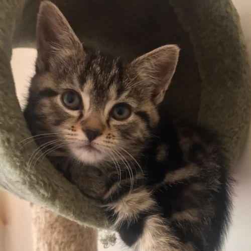 Tiana ^^Dandy Cat Rescue^^ - Domestic Short Hair Cat