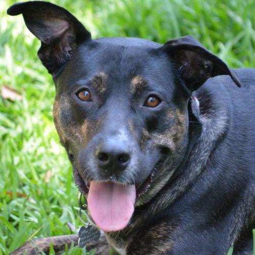 Evie - Kelpie x Labrador Dog