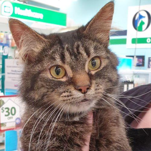 Jackie - Domestic Medium Hair Cat