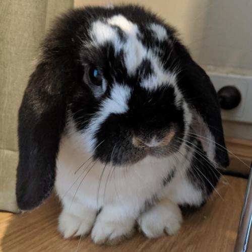 Houdini - Mini Lop Rabbit