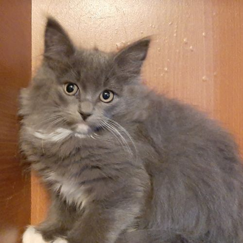 Calvin Klein (to go with sibling) - Domestic Medium Hair Cat