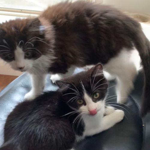 Cat Noir - Domestic Short Hair Cat