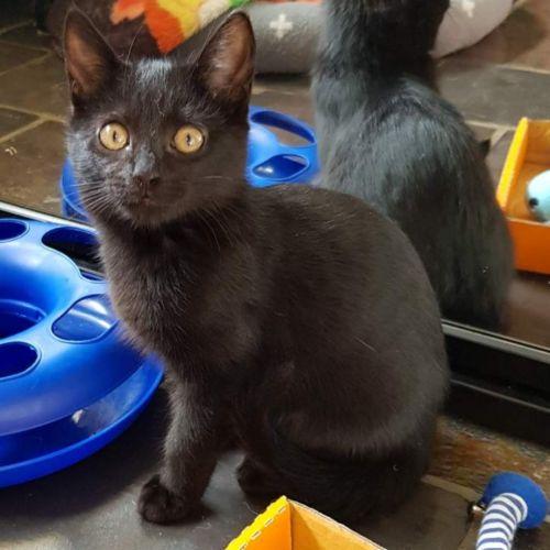 Baxter - Domestic Short Hair Cat