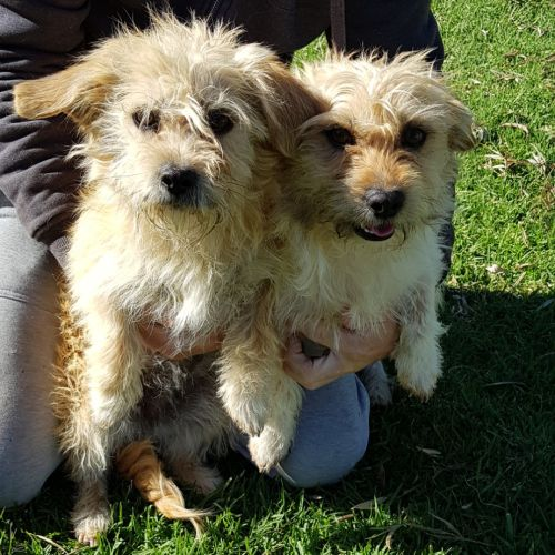 Teddy and Rosie - Terrier Dog