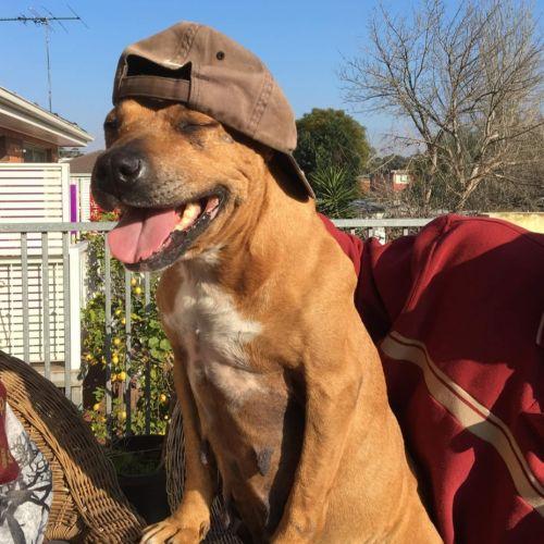 Dixie - Staffy Dog