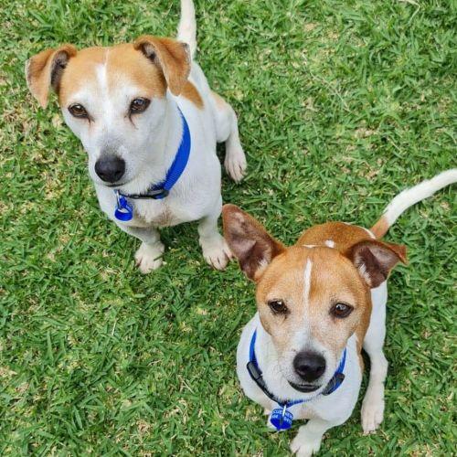 Skippy & Rocky ~ 8yr Old Jack Russel