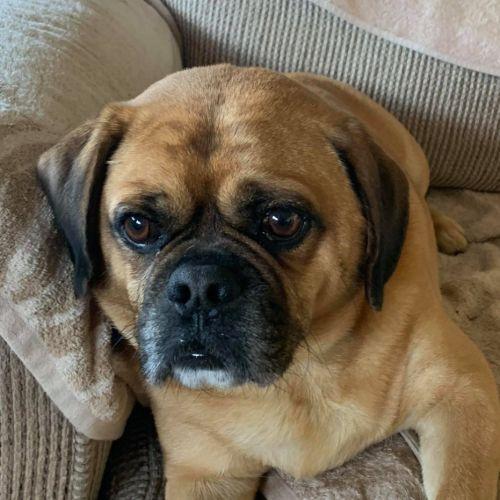 Duke ~ 6yr Old Puggle  - Pug x Beagle Dog