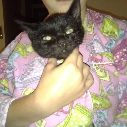 Pips - Domestic Short Hair Cat