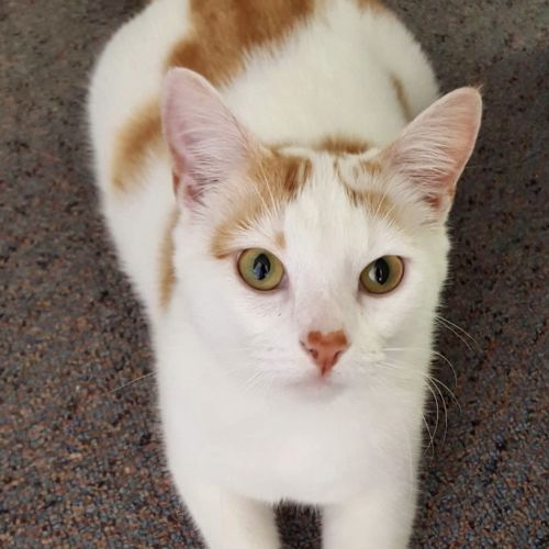 Mellow ~ 1yr Old Male Cat - Domestic Short Hair Cat