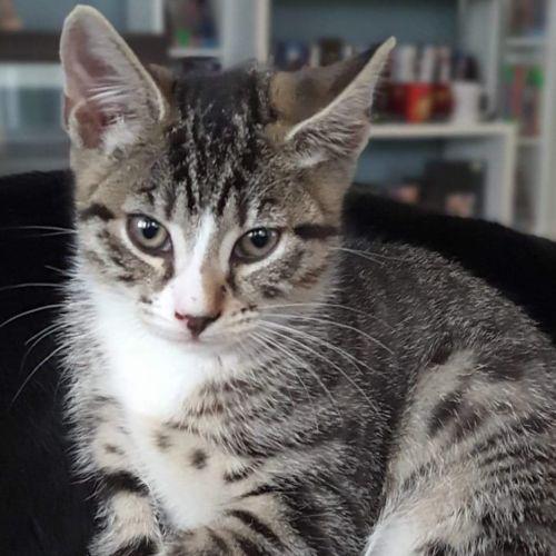Olivia - Located at Neko HQ in Preston - Domestic Short Hair Cat