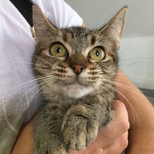 Helga - Domestic Short Hair Cat
