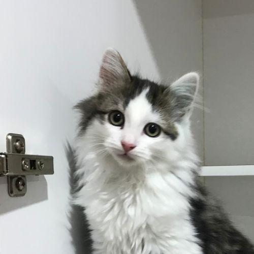 Velvet - Domestic Long Hair Cat