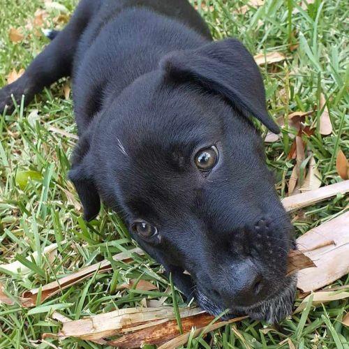Knox - Kelpie Dog