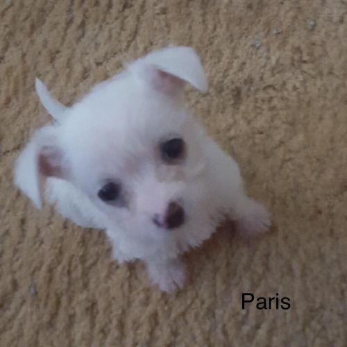 Paris - Maltese Dog