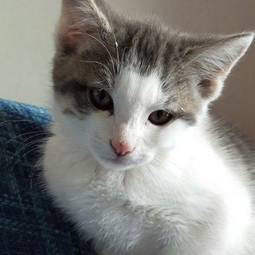 Barnacles  - Domestic Short Hair Cat