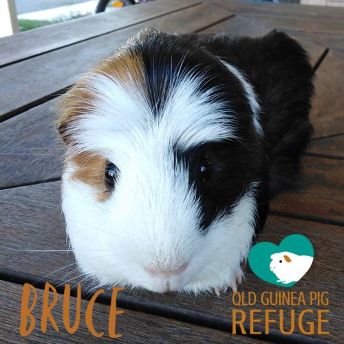 Bruce - Crested x Smooth Hair Guinea Pig