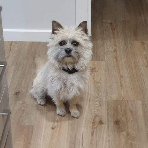Bella - Silky Terrier Dog
