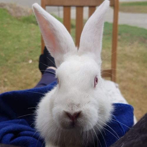 Yuki * On Trial with my new family * - Domestic Rabbit