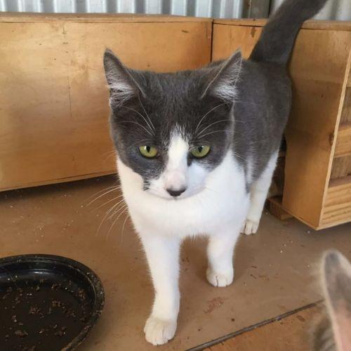 Shar - Domestic Short Hair Cat
