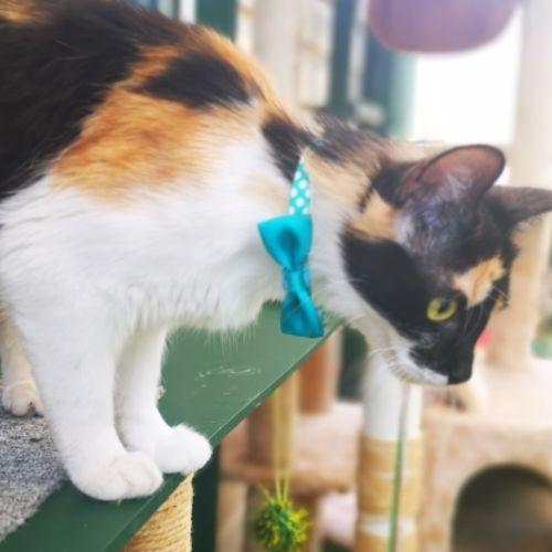 Calister (aka Cali) - Domestic Medium Hair Cat