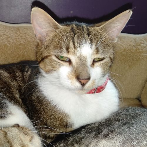 Summer - Domestic Short Hair Cat