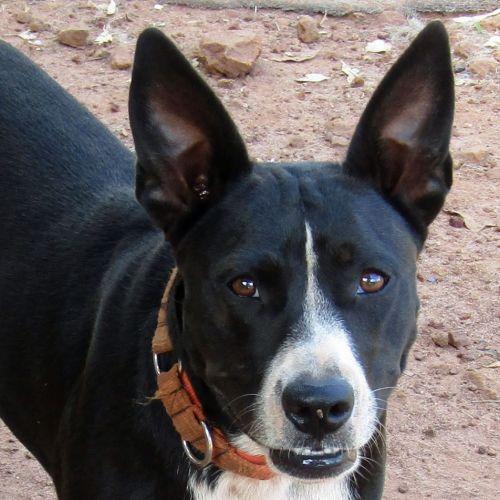 Ruby - Border Collie x Staffy Dog